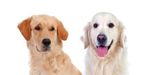 Dogs Isolated On White Background