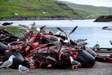 Pilot Whale Carcasses Piled Up...