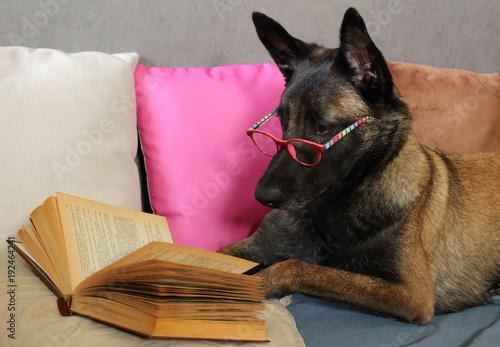 Fototapeta un chien de berger belge malinois lit un livre avec une paire de  lunette sur le