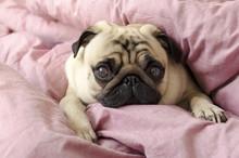 Small Cute Dog Breed Pug Sleep...
