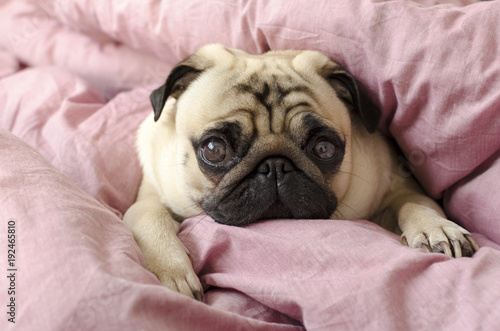 small cute dog breed pug sleeping in master's bed Canvas
