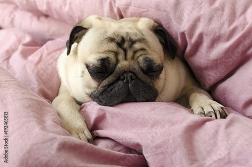 Obraz na plátně  small cute dog breed pug sleeping in master's bed