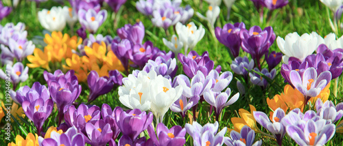 Photo sur Toile Crocus Krokusse