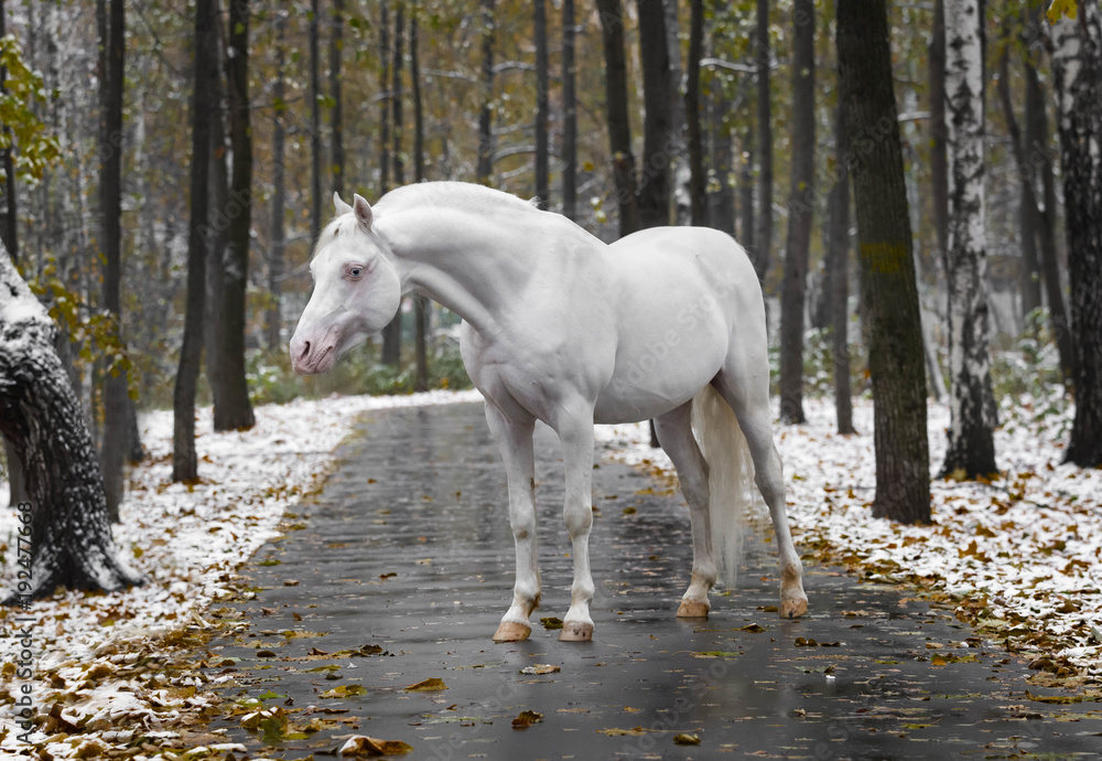 Fototapeta Portrait of a white horse of breed the Wales pony without bridle on path in the park in the autumn wood with new snow