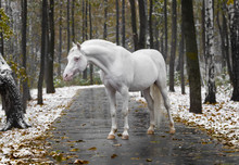 Portrait Of A White Horse Of B...