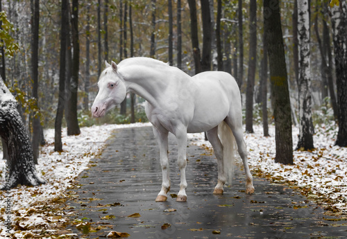 Obraz na plátne Portrait of a white horse of breed the Wales pony without bridle on path in the