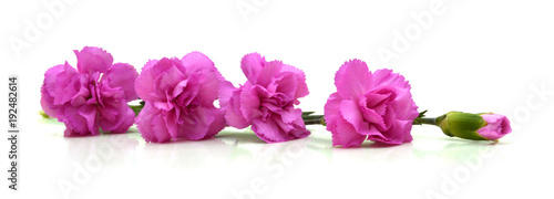 Tuinposter Azalea pink carnations over white with space for text. greeting card.