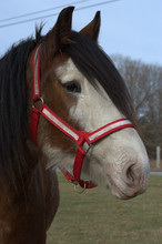Bogey The Clydesdale