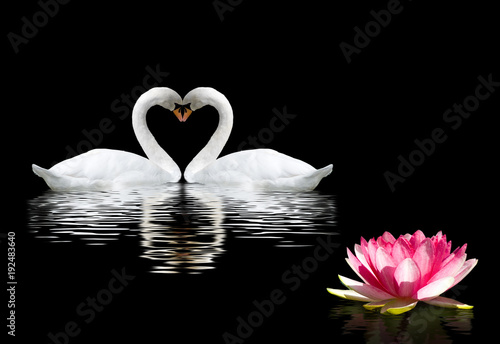 two swans and a lotus flower on the water
