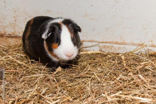 Fotografía  Guinea Pig in terrarium