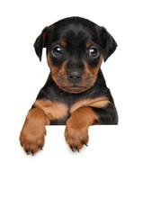 Zwerg Pinscher Puppy Above Ban...