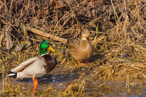 Foto op Canvas Jacht duck wild on the lake