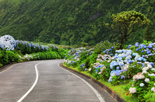 Hortensias On The Road In The ...