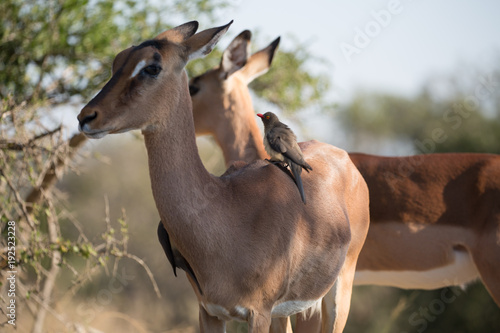Antelope Antilope bei Safari in Südafrika