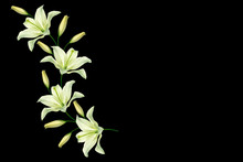 Flower Lily Isolated On Black Background. Summer