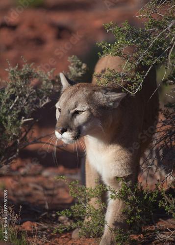 Staande foto Puma Cougar walking between desert bushes