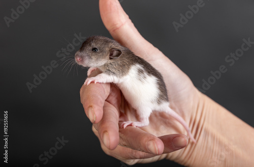 Photo  baby rat in the palm