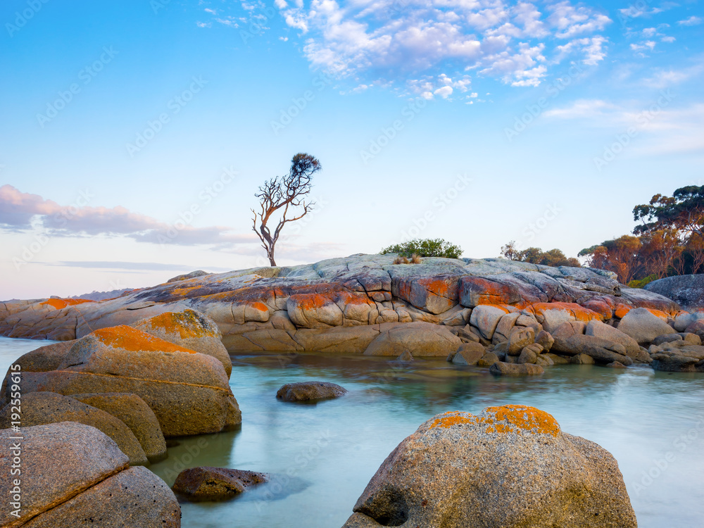 Fototapety, obrazy: A single tree grows on a granite outcrop in the Bay of Fires, on the east coast of Tasmania, Australia.