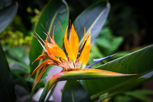 Blooming Bird Of Paradise Flow...
