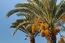 The Tops Of Date Palms With A Harvest Of Dates Against A Clear Clear Blue Sky