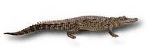 Walking Crocodile Isolated On ...