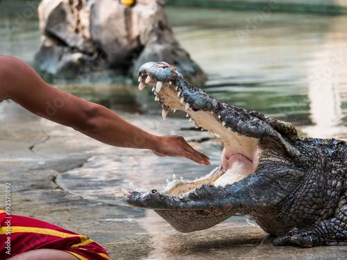 Foto op Plexiglas Krokodil Crocodile showman in red dress put arm into crocodile mouth in the crocodile show in Thailand