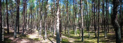 Valokuva  Dancing forest, Curonian spit, Kaliningrad region Russia