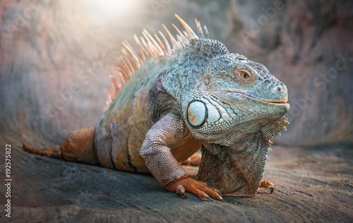 Photographie  Iguana Lizard. Animals.