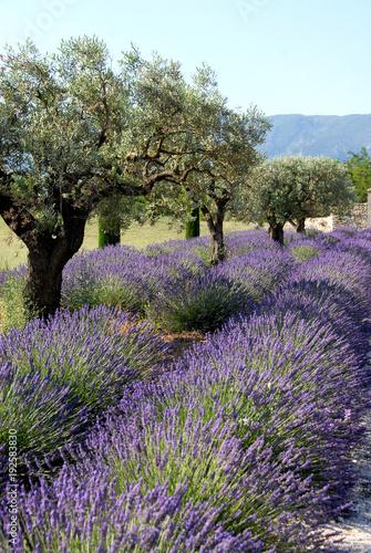 Provence, champs de lavande et oliviers, Luberon, Vaucluse, France