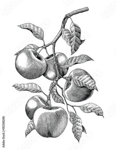 Fototapeta Apple branch hand drawing vintage engraving illustration isolate on white background obraz
