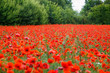 Wunderful poppy field and green trees