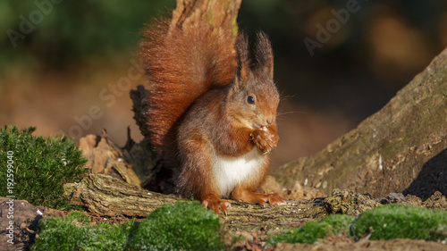 Foto op Canvas Eekhoorn Red Squirrel in winter