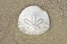 A White Sand Dollar On Dark Sand On A Beach In California