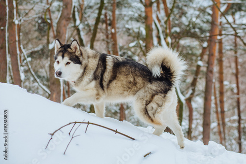 Alaskan malamute husky wolf dog in winter forest outdoor walking on the snow Canvas Print