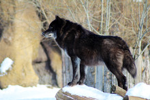 Black Wolf Canis Lupus Walking...