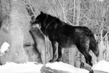 Black Wolf Canis Lupus Walking...