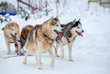 Breed Husky Sled Dogs In The W...