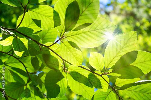 Fototapeta premium Bukowy las w słońcu
