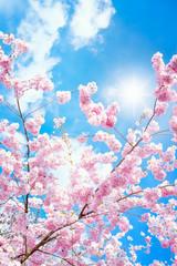 Panel Szklany Na drzwi Rosa Kirschblüten im Frühling bei Sonnenschein im Hochformat