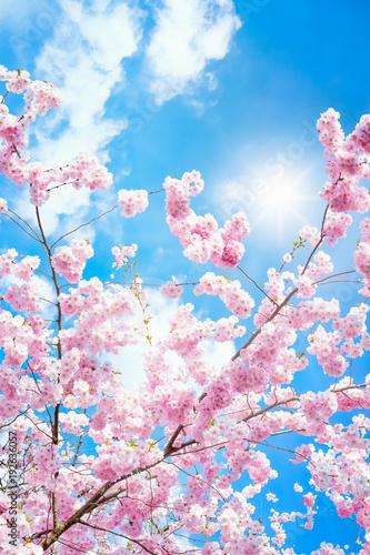 Deurstickers Lichtroze Rosa Kirschblüten im Frühling bei Sonnenschein im Hochformat