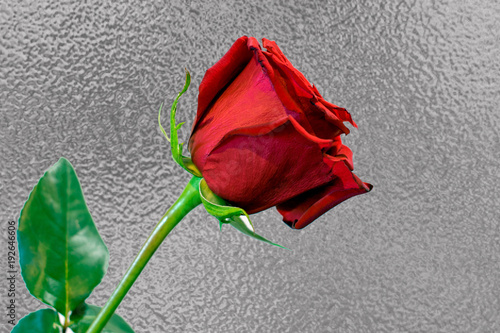 One Long Stem Red Rose Against Silver Foil Background