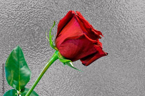 Fényképezés  One long stem red rose against silver foil background