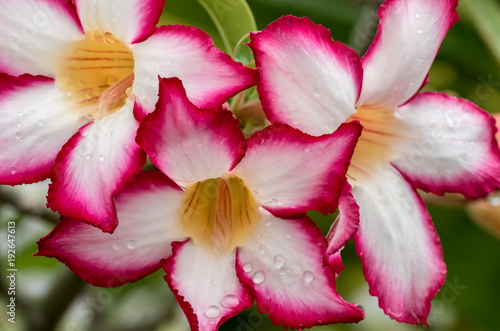 Tropical flower, white and pink petals with yellow center with rain ...