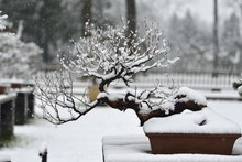 Snow And Bonsai