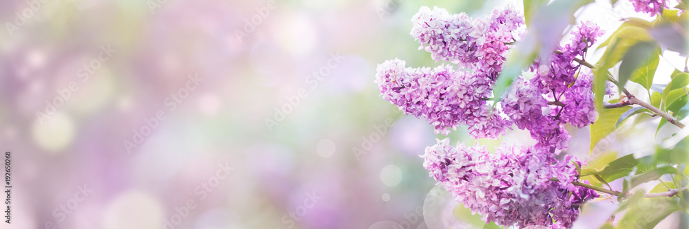 Fototapety, obrazy: Lilac flowers spring blossom, sunny day light bokeh background