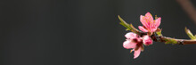 Peach Tree Branch With Pink Flowers Against Black Background