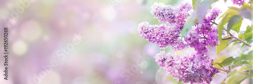 Lilac flowers spring blossom, sunny day light bokeh background