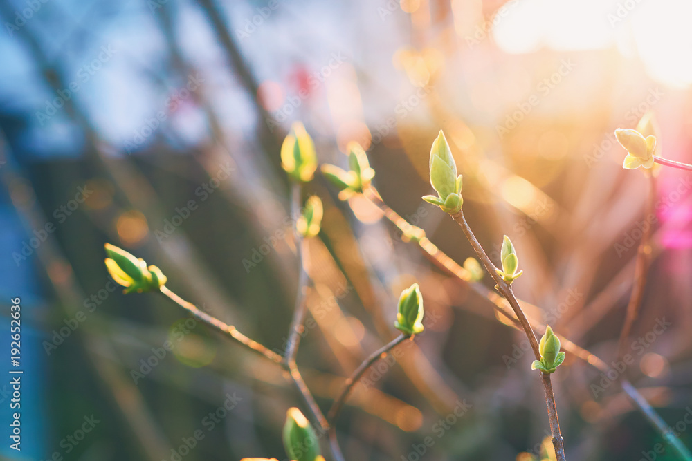Beautiful vibrant spring garden background with fresh green buds in the magic evening sunlight