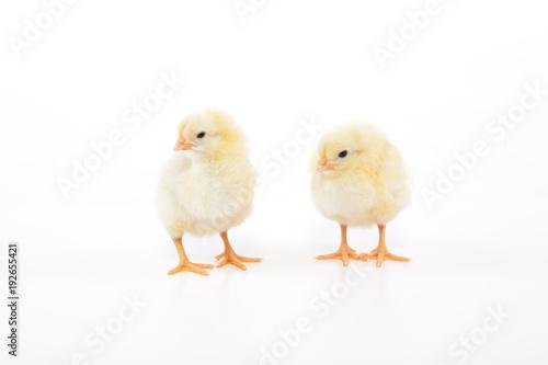 Fotografia  Süße kleine gelbe Hühner Küken stehen im Studio