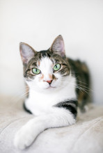 A Brown And White Tabby Domest...